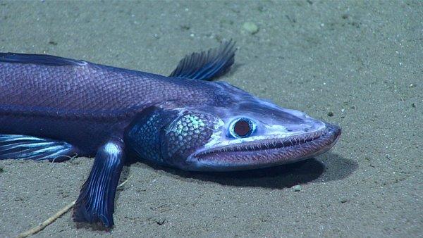 У берегов США ученые обнаружили «глубоководные пельмени»