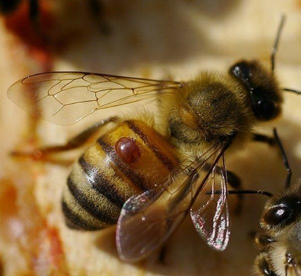 Биологи: Через 17 лет на Земле исчезнут пчелы и наступит голод