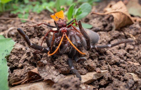 Гигантская оса убила тарантула и использовала его как инкубатор