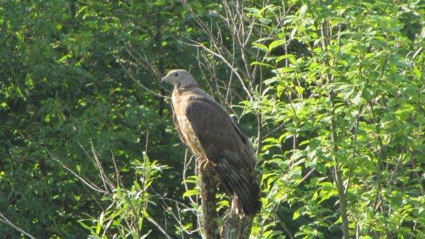 В Ростове хищная птица истребляет по городу голубей