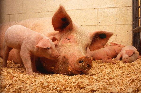 Учёные выяснили, что свиньи способны узнать человека по лицу