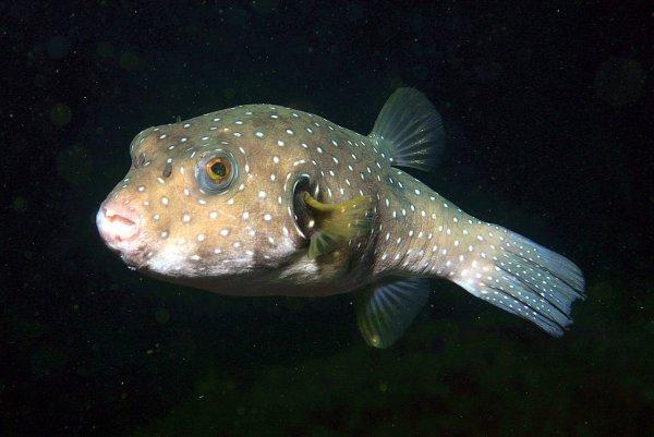 Три новых вида глубоководных рыб учёные нашли в Тихом океане