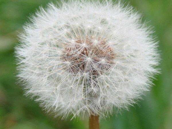 Ученые объяснили, за счет чего летают семена одуванчика
