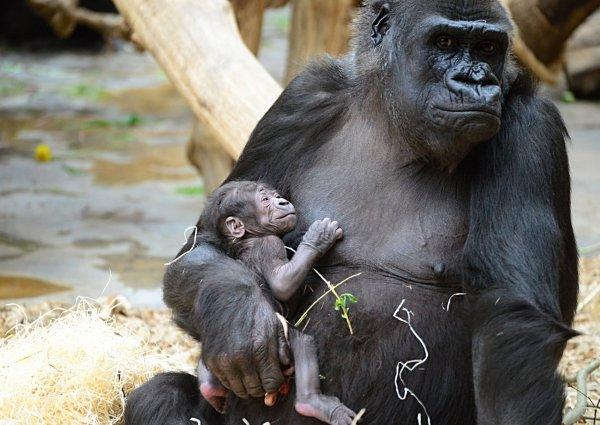 Забота о детях помогает самцам горилл в любви