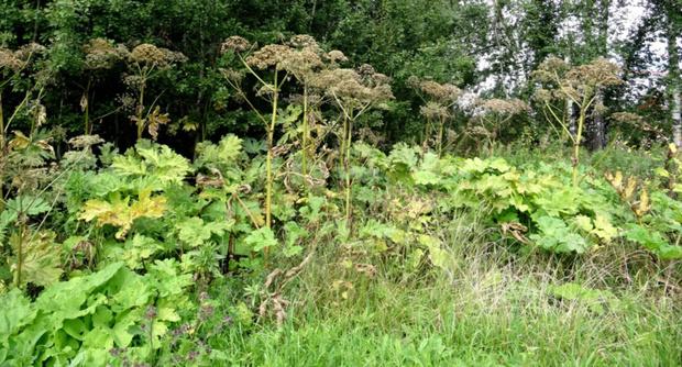 Тюменские ученые: опасные для здоровья виды растений захватывают регион