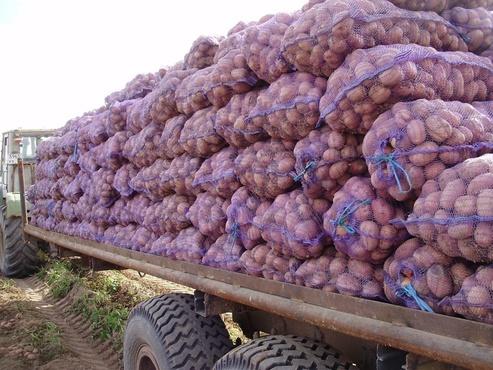 Тюменская агрофирма успешно поставляет картофель за рубеж