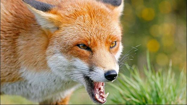В Тюменской области собаки, лисицы и еноты заболевают бешенством
