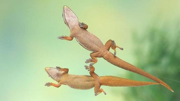 Ученые выяснили, как гекконам удается бегать по воде