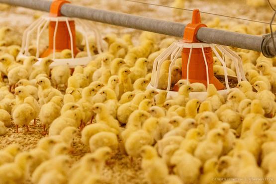 Тюменская птицефабрика начинает выпускать котлеты