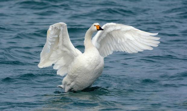 Тоболяк, который убил двух лебедей, заплатит крупный штраф