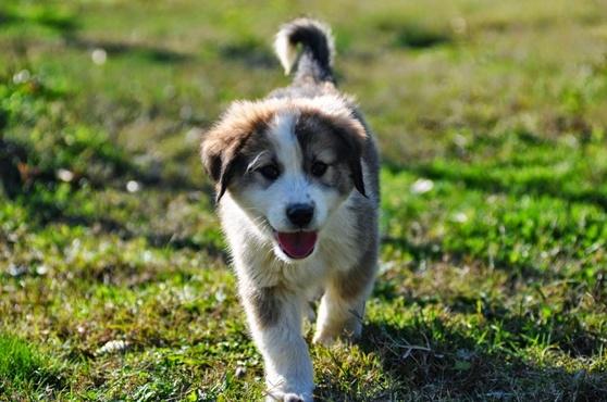 Греческая овчарка: пастушья собака