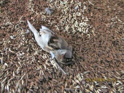 На тюменском складе нашли мертвых птиц, погребенных в зерне