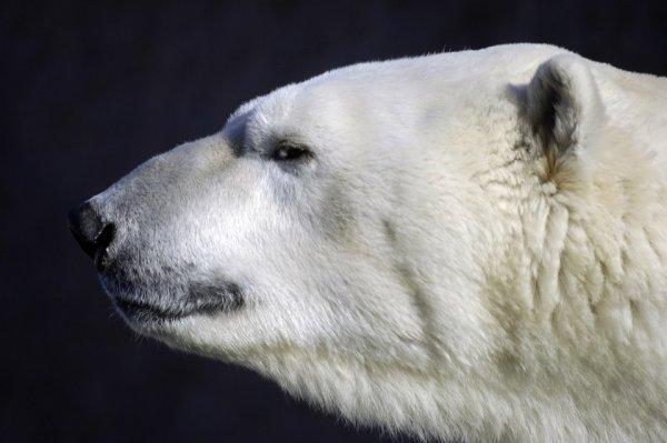 Эксперт рассказал о нашествии медведей на Новой Земле
